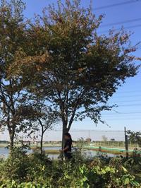 胸径25公分榉树11行情报价/胸径25公分榉树11图片展示