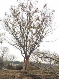 优质特价胸径25公分榉树15产地直销