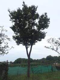 江苏供应胸径25公分榉树17规格齐全
