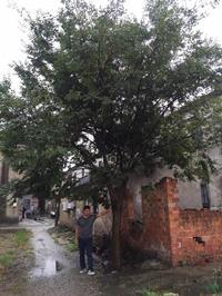 江苏[产品]/江苏胸径25公分榉树18价格/报价