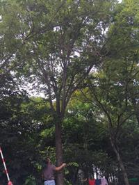胸径25公分榉树19图片/胸径25公分榉树19报价