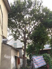江蘇[產品]/江蘇胸徑25公分櫸樹20價格/報價