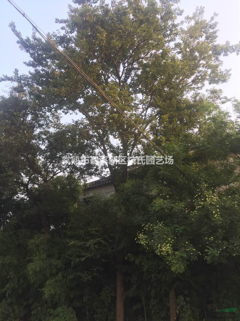 江苏[产品]/江苏胸径25公分榉树20价格/报价