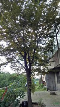 胸徑25公分櫸樹21行情報價/胸徑25公分櫸樹21圖片展示