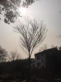 江蘇胸徑25公分櫸樹22哪里好/哪家便宜