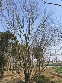 優質特價叢生樸樹 2桿到15桿3產地直銷