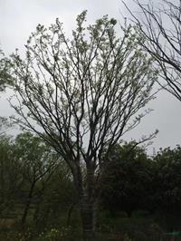 江蘇叢生樸樹 2桿到15桿4介紹/特征/用途