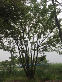 江苏[香港六合彩资料大全]/江苏丛生朴树 2杆到15杆8价格/报价