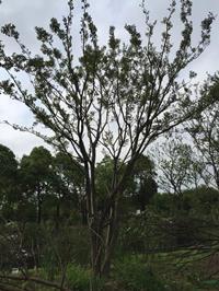 大小规格丛生朴树 2杆到15杆10基地