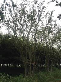 大小规格丛生朴树 2杆到15杆11基地