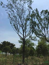 江蘇胸徑18到20公分樸樹哪里好/哪家便宜