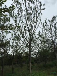 胸径18到20公分朴树2图片/胸径18到20公分朴树2报价