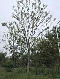江蘇供應胸徑18到20公分樸樹3規格齊全