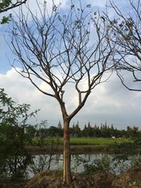 大小规格胸径18到20公分朴树4基地