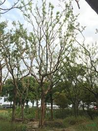大小规格胸径18到20公分朴树5基地