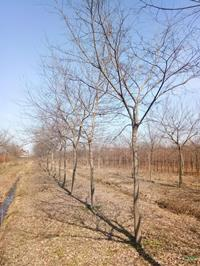 浙江產品樸樹6公分到20公分價格/報價