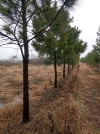 大小规格浙江湿地松7公分到20公分基地