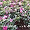 河北[产品]/河北四季玫瑰2价格/报价