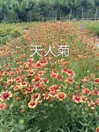 天人菊圖片/天人菊報價