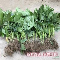 江苏[产品]/江苏八角金盘价格/报价