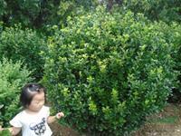 大小規格大葉黃楊球基地