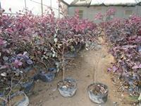 优质特价红花继木产地直销