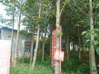 优质特价七叶树产地直销