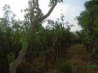枣树行情报价-枣树图片展示-枣树产地直销-枣树规格齐全
