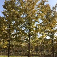 银杏树,银杏树*新价格,批发大小规格银杏树。