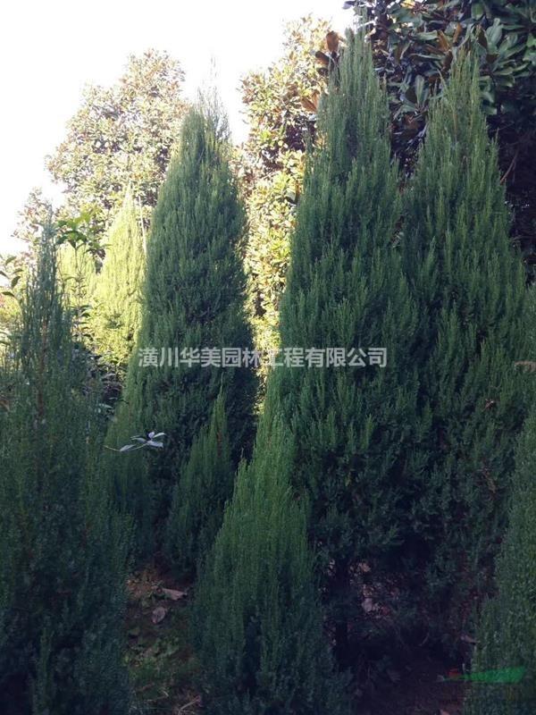 120厘米刺柏树价格120公分高桧柏价格1,2米刺柏价格圆柏