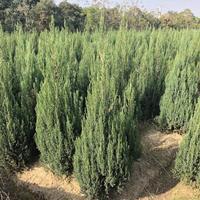 裕盛市场130厘米高翠柏树价格,1.3米花柏树诚信供应商