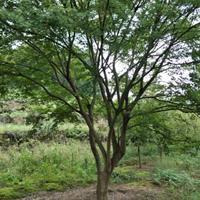 供有大规格鸡爪槭6公分23公分及红枫樱花红叶石楠海棠无患子