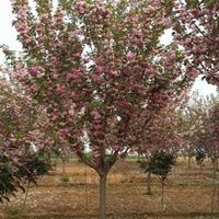 快乐赛车开奖地径2-12公分樱花,丛生金桂,乌桕,三角枫,红叶石楠球