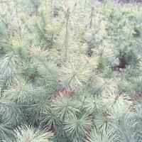 油松小苗,油松小苗价格,河南油松小苗产地,哪里有油松苗出售