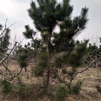 常年专供1-5米黑松,油松,侧柏
