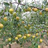 梨树价格、梨树供应、梨树批发