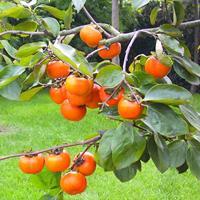 柿树价格、柿树供应、柿树批发