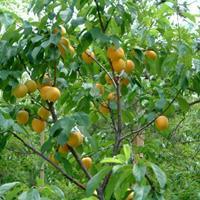 杏树价格、杏树供应、杏树批发