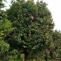 广西桂林地区供应地径18-20的茶花赤丹