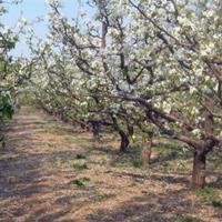 大量供应梨树树苗,梨树树苗价格,梨树树苗批发