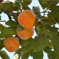 柿树价格,柿树树苗供应,大量柿树批发