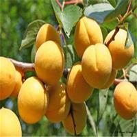 大量供应杏树树苗,杏树树苗价格,