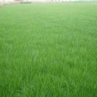 百慕大草坪供应,大量百慕大草坪批发,百慕大草坪价格