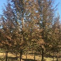 水杉苗价2-15公分粗水杉价格,落羽杉红豆杉,河南池杉水杉价
