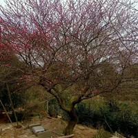 红叶碧桃售价,地径1-12公分红叶碧桃价格,潢川寿星桃山桃树