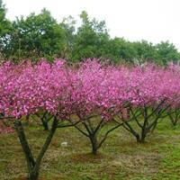 碧桃桃树1-20公分粗价格,杏树构树价格,榆树价格,桂花树