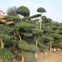 4-50公分粗椿树价格,柏树松树价格,杨树梨树价格,板栗树价