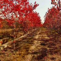 江苏沭阳国干苗圃供应冬青球,美国红枫,樱桃树
