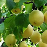 梨树价格、梨树批发、梨树供应