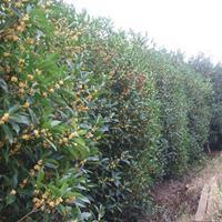 月月桂花树价格,红碧桃价格,寿星桃价格,30公分冠夏鹃价格